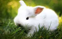 White Rabbit wallpaper 1920x1200 jpg