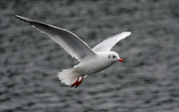 White Seagull Flying wallpaper 1920x1200 jpg