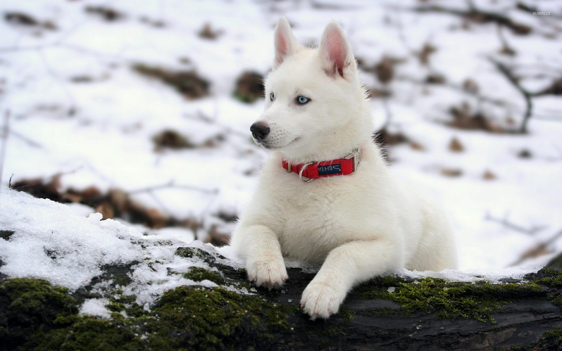 White siberian husky wallpaper - Animal