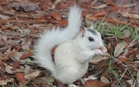 White squirrel wallpaper 3840x2160 jpg