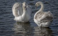 White swans on the lake wallpaper 1920x1200 jpg