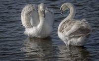 White swans on the lake wallpaper 1920x1200 jpg