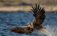 White-tailed eagle with a fish in its claws wallpaper 1920x1200 jpg