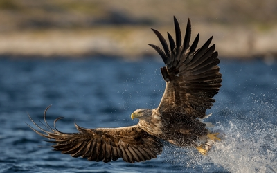 White-tailed eagle with a fish in its claws wallpaper