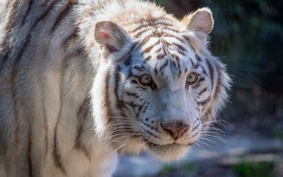 White tiger [4] wallpaper