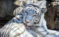 White tiger cleaning itself wallpaper 1920x1200 jpg