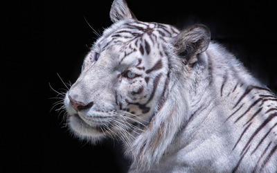 White tiger close-up wallpaper