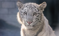 White tiger cub wallpaper 1920x1200 jpg