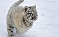 White tiger cub  in the snow wallpaper 1920x1200 jpg