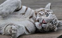 White Tiger cub o wooden floor wallpaper 2560x1440 jpg