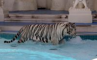 White Tiger in a pool wallpaper 2560x1600 jpg