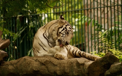 White tiger licking its paw wallpaper
