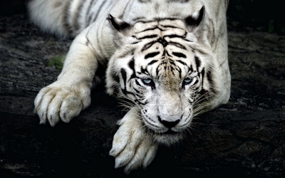 White tiger with beautiful blue eyes resting on a tree log wallpaper