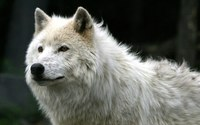 White Wolf wallpaper 1920x1200 jpg