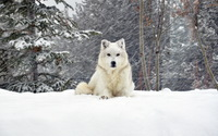 White wolf [3] wallpaper 2560x1600 jpg