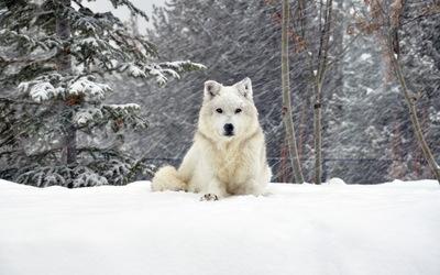 White wolf [3] wallpaper
