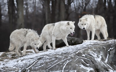White wolves on a rock in the forest wallpaper