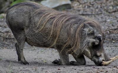 Wild boar wallpaper