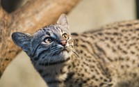 Wild cat wallpaper 2560x1600 jpg