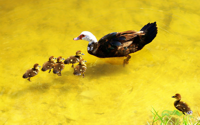 Wild duck with ducklings wallpaper