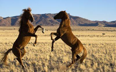 Wild horses fighting wallpaper