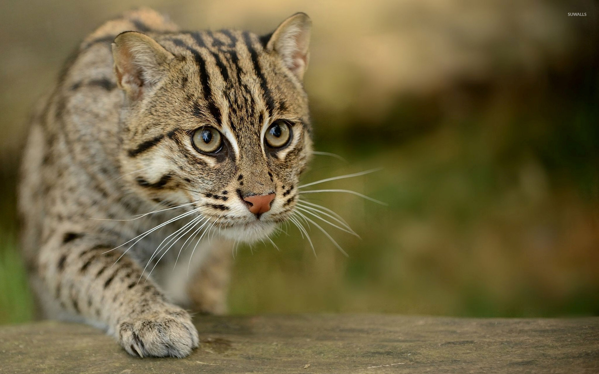 wildcat wallpaper - animal wallpapers - #38898