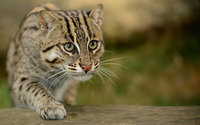 Wildcat wallpaper 1920x1200 jpg