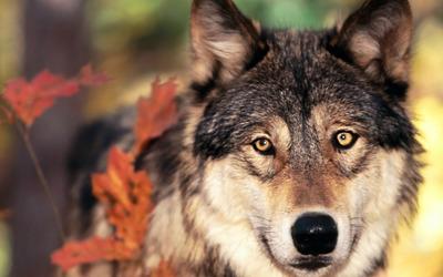 Wolf [4] wallpaper