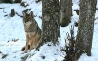Wolf [3] wallpaper 1920x1200 jpg
