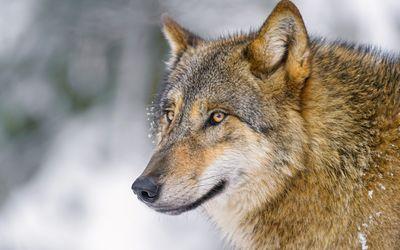 Wolf [6] wallpaper