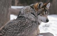 Wolf wallpaper 1920x1080 jpg