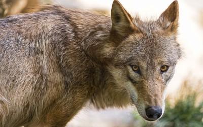 Wolf [8] wallpaper