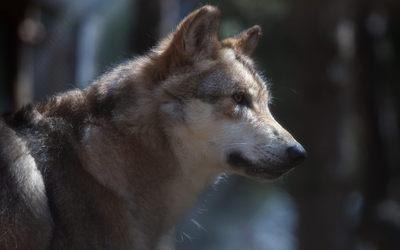 Wolf [7] wallpaper