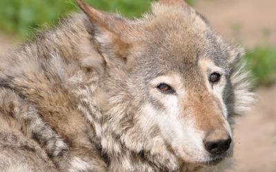 Wolf [9] wallpaper
