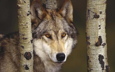 Wolf [2] wallpaper