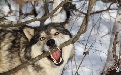 Wolf biting into the tree branch wallpaper
