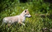 Wolf cub wallpaper 1920x1200 jpg