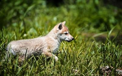 Wolf cub wallpaper