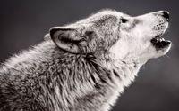 Wolf howling wallpaper 1920x1200 jpg