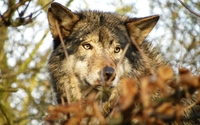 Wolf in the dry forest wallpaper 2560x1600 jpg