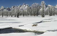 Wolf in the snow by the frozen river wallpaper 1920x1200 jpg