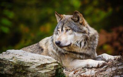 Wolf laying on rocks wallpaper