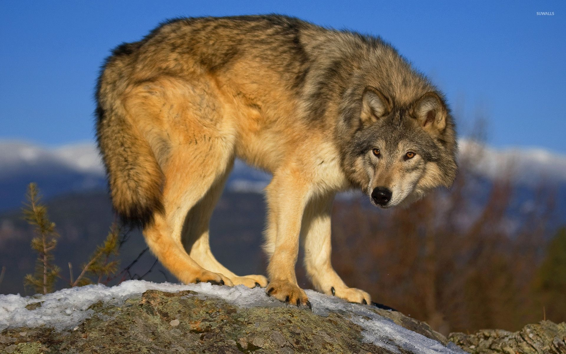 Wolf on the rock wallpaper - Animal wallpapers - #54198