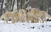 Wolf pack wallpaper 1920x1200 jpg
