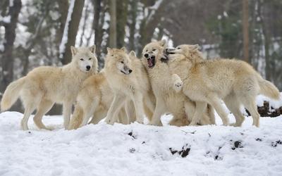 Wolf pack wallpaper
