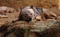 Wolf resting wallpaper 2560x1600 jpg