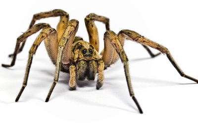 Wolf spider wallpaper