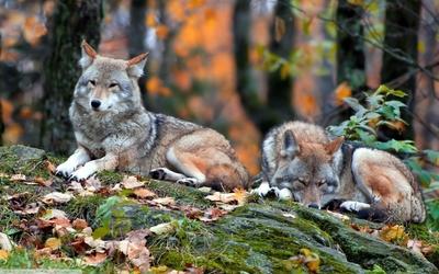Wolves [2] wallpaper