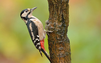Woodpecker wallpaper 1920x1200 jpg