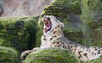 Yawning leopard wallpaper 2560x1600 jpg